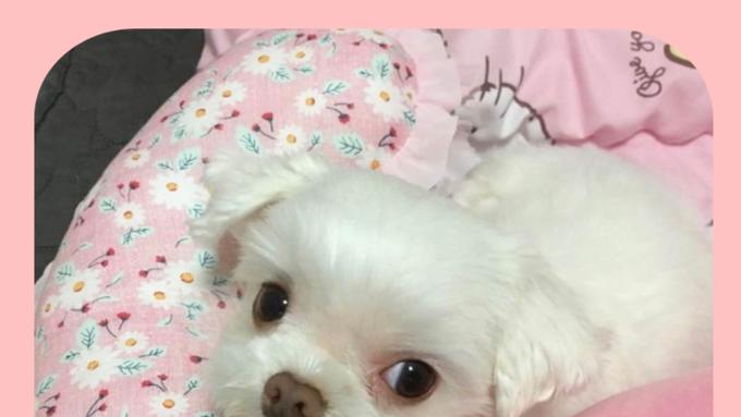 """강아지실종, 1월 9일 오전 12시경 의정부 신곡동에서 실종된 말티즈 여아 """"코코""""를 찾아 주세요."""
